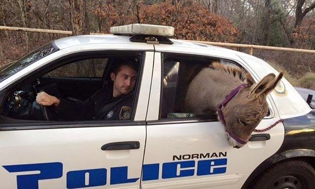 Un policier embarque un âne dans sa voiture