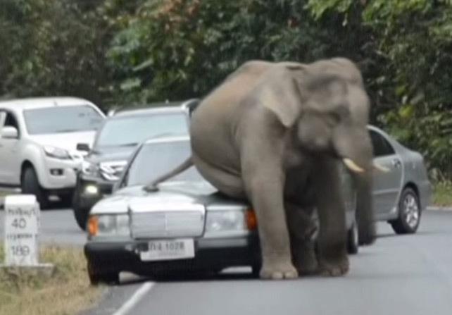 Un éléphant pulvérise les voitures qu'il croise