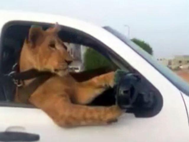 Vidéo : il roule avec un lion sur le siège passager