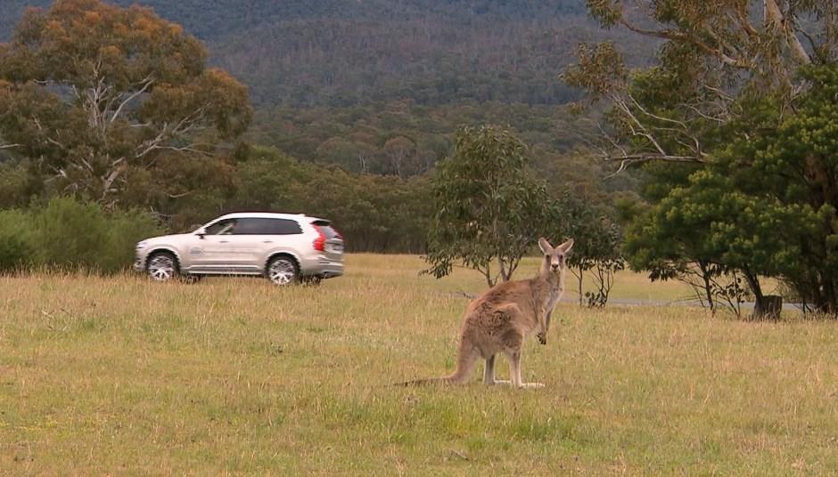 Insolite : une technologie Volvo pour éviter les kangourous